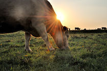 Kuh genießt ihr Abendbrot von Thomas Schaefer