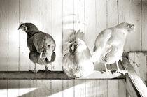 Der Hahn im Korb, schwarz-weiß von Thomas Schaefer