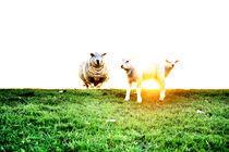 Schafe auf dem Deich von Thomas Schaefer