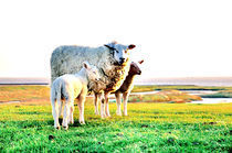 Schaf mit zwei Lämmern auf dem Deich by Thomas Schaefer