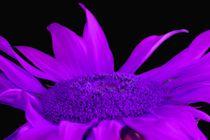 Sonnenblume-lila