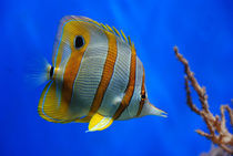 Butterfly Fish von Jan Lykke