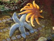 Starfish in Love von Natalie Litofsky
