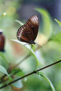 Lepidoptera by Bombaert Patrick