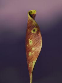 shy leaf  von Lucja Lipinska
