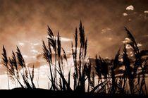 Reed by Ivan Aleksic