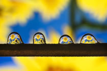 Sunflowers inside water drops von Marc Garrido Clotet