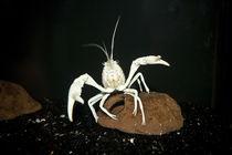 """Procambarus clarkii """"white pearl"""" -  weißer Sumpfkrebs von Roland Hemmpel"""