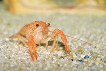 Swamp crab von Roland Hemmpel