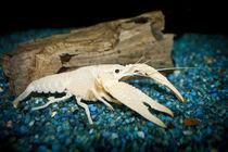 """Procambarus clarkii """"white pearl"""" -  weißer Sumpfkrebs 2 von Roland Hemmpel"""