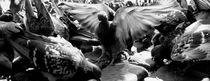 King of the pigeons of Istanbul by Mahir Anil Kozan