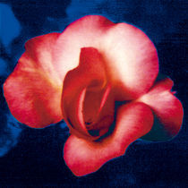 A ROSE IS A ROSE IS A ROSE (blue) von FILIPPO PARTESOTTI