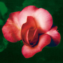 A ROSE IS A ROSE IS A ROSE (green) von FILIPPO PARTESOTTI