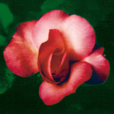 A-rose-is-a-rose-is-a-rose-green