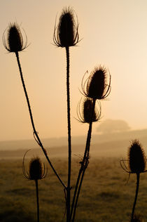 Teasels Silhouette at Sunrise von Craig Joiner