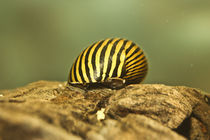 Zebra von Julio Guajardo