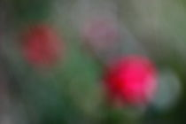 Farbenspiel der Rosen - Colors of the roses von ropo13