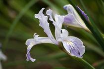 Serene Iris von Helen K. Passey