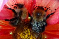 Bienenpaar in einer Blüte, Biene, Blüte Insekten, Dahlie von Simone Cuambe
