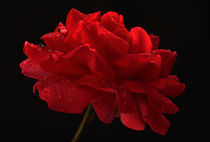 Rote Rose nach dem Regen by Wolfgang Dufner