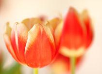 Tulpen von Jana Behr