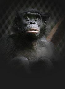 Bonobo von Elke Balzen