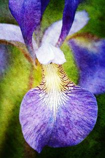 Iris Fantasy by Helen K. Passey
