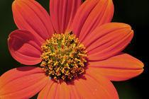 Vibrant Orange Flower by Carolyn Cochran