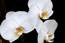 Snow White Orchids by Carolyn Cochran