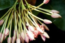 Pretty Pinks All In A Row by Carolyn Cochran