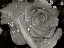 Rose by Carolyn Cochran