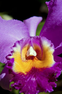 Purple Orchid by Carolyn Cochran
