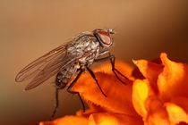 eine Fliege von photoart-hartmann