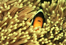 Clarks-Anemonenfisch (Amphiprion clarkii) by photoart-hartmann