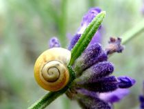 Snail on lavender von Catherine BAYO