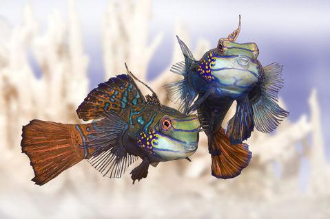 Schleierfische-wei