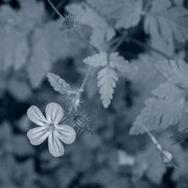 Wild Geranium by Inge Meldgaard