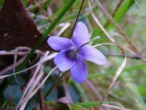 Wood Violet by Inge Meldgaard