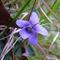 Wood-violet