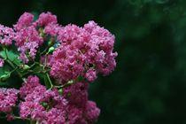 Pink von Antonio Tarin