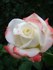 Rose für Melanie von Ka Wegner