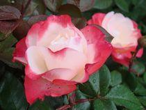 Rose für Hanna von Ka Wegner
