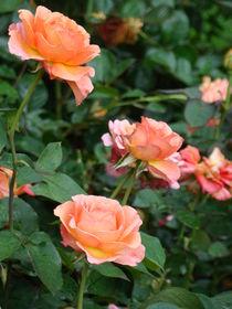 Rosen für Alle von Ka Wegner