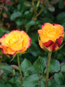 Rose für Simone von Ka Wegner