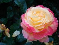 Rose für Ulrike von Ka Wegner