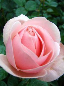Rose für Lissa von Ka Wegner