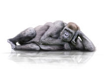 Gorilla-liegt-weier-hg-spiegelung
