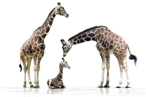 Drei-giraffen-giraffenfamilie