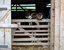 goats by Viktoria Papp