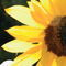 Sunflower-reflexion